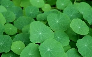 leaf_tropaeolum