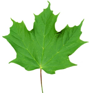 thumb_sugar-maple-leaf