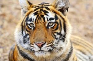 http://www.posterlounge.co.uk/lying-royal-bengal-tiger-in-portrait-pr191943.html
